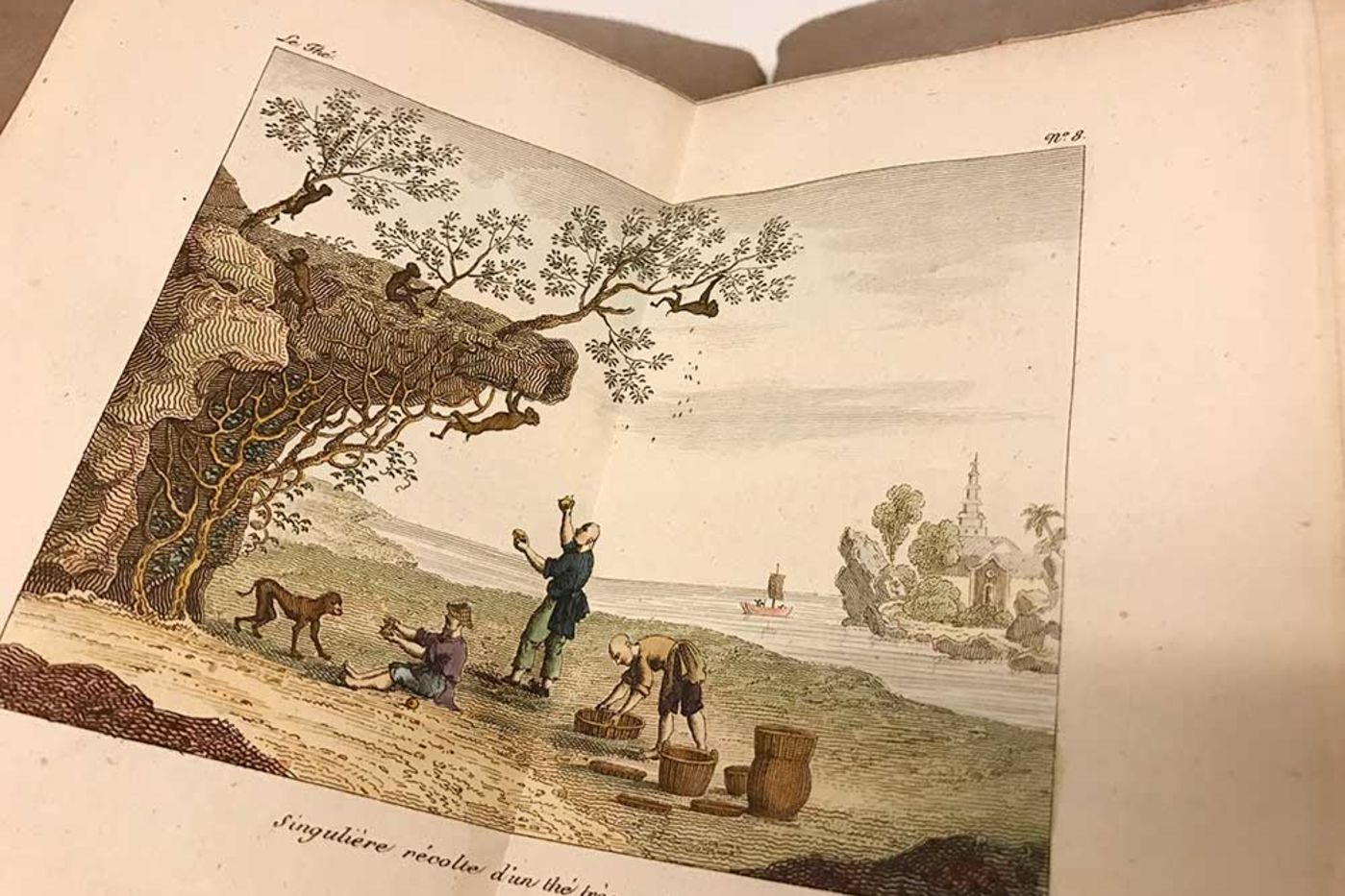Color illustration in a book, showing monkeys climbing a cliff and picking leaves off trees while people below gather the leaves into baskets