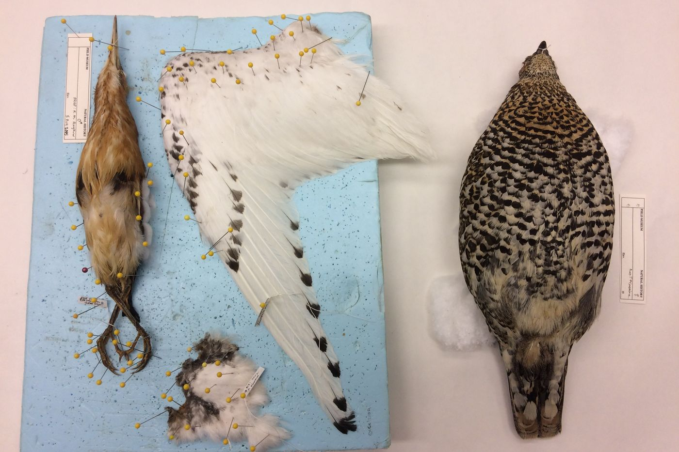 Brown and white bird specimens pinned on a board