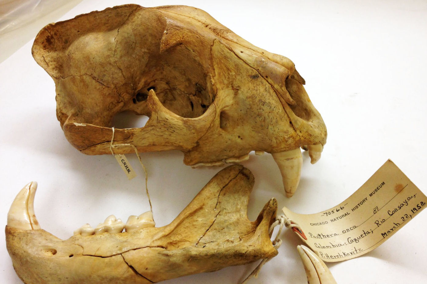Yellowed skull of a jaguar, with the lower jaw separated. A specimen tag indicates that it was collected in Colombia on March 22, 1952.