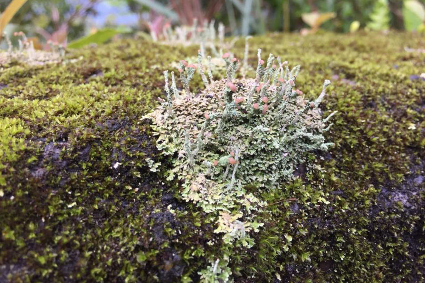 Lichens on top of a mossy, rocky surface. They are light blue and green, with stalks that have round, pink tops.