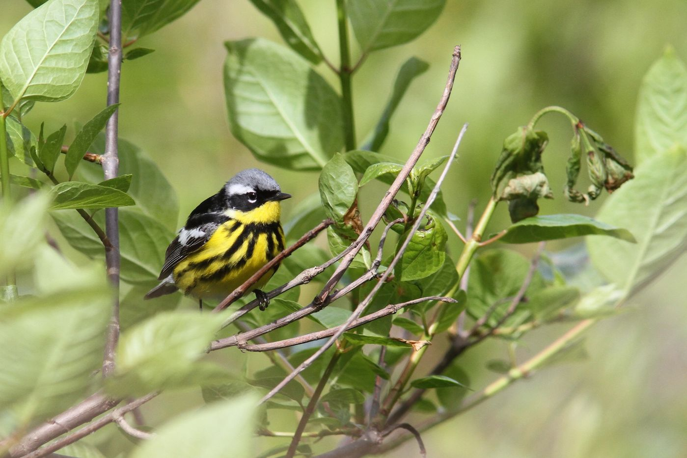 Using eBird to keep up with recent sightings in your area | Field Museum