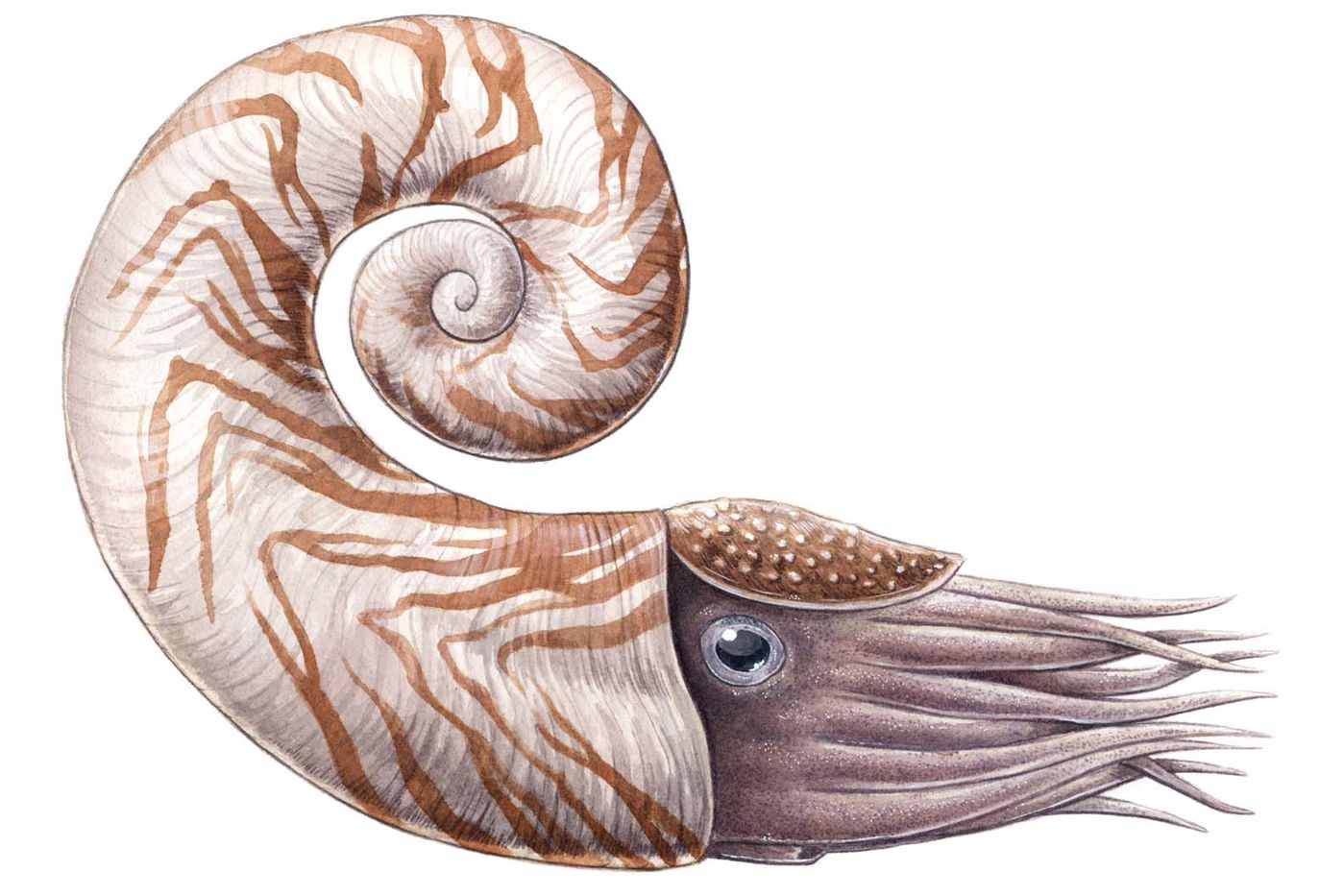 Illustration of a nautilus-like animal with an orange-striped shell and tentacles