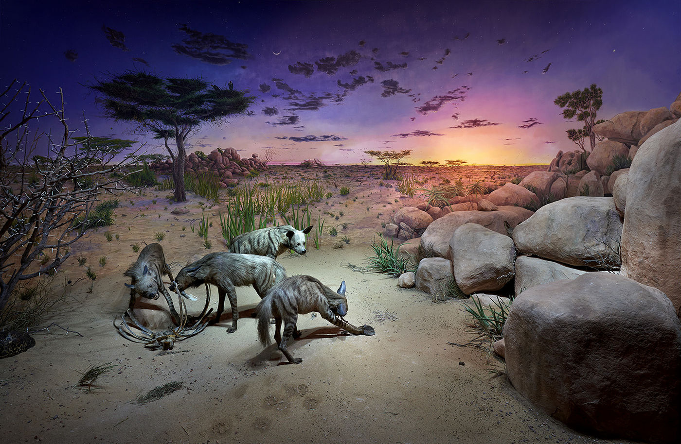 Four taxidermy hyenas pick at a carcass in a diorama. A painted background shows early dawn.