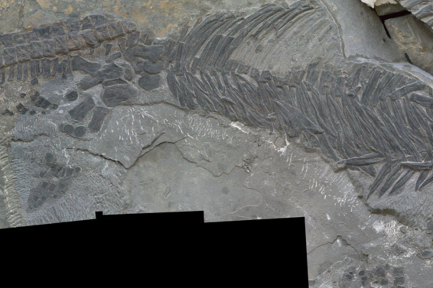 A fossil of a Sclerocormus parviceps, a sea-dwelling reptile, shown with a ruler to show scale.