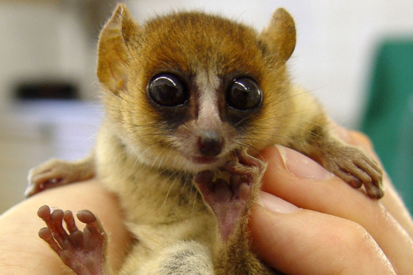 mouse lemur madagascar cute lemurs ridiculously rainforest tiny science hold past key goodman microcebus public