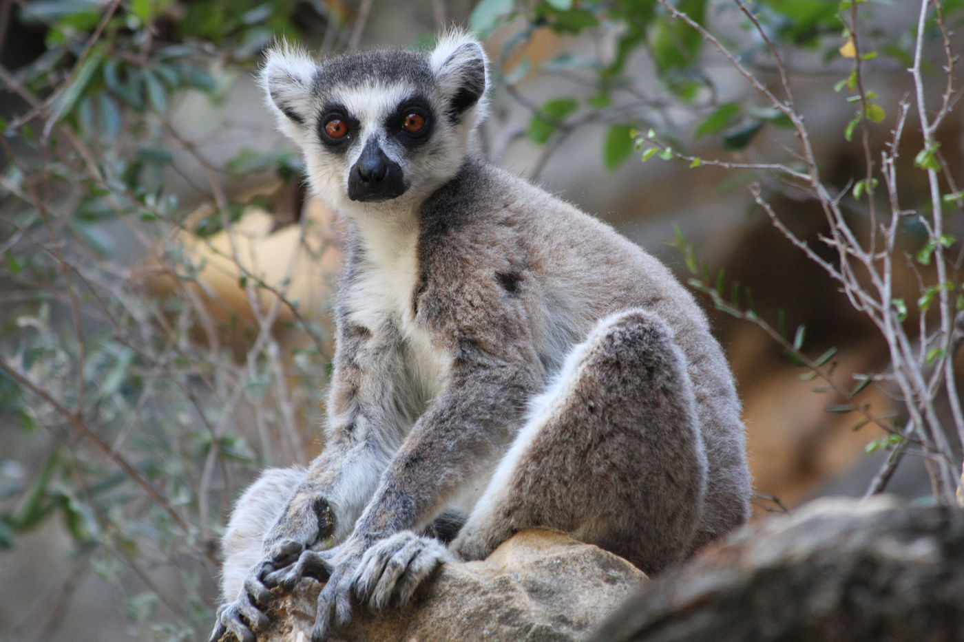 A lemur perched on a rock, seemingly staring right at the camera with golden-brown eyes. Its fur is mostly gray with some black details and white stomach and facial markings. There are branches with small green leaves behind the lemur.