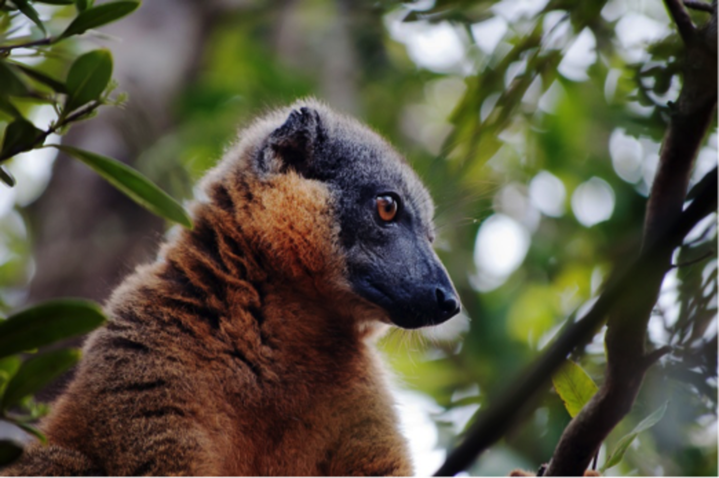 A close up of a Lemur in a tree