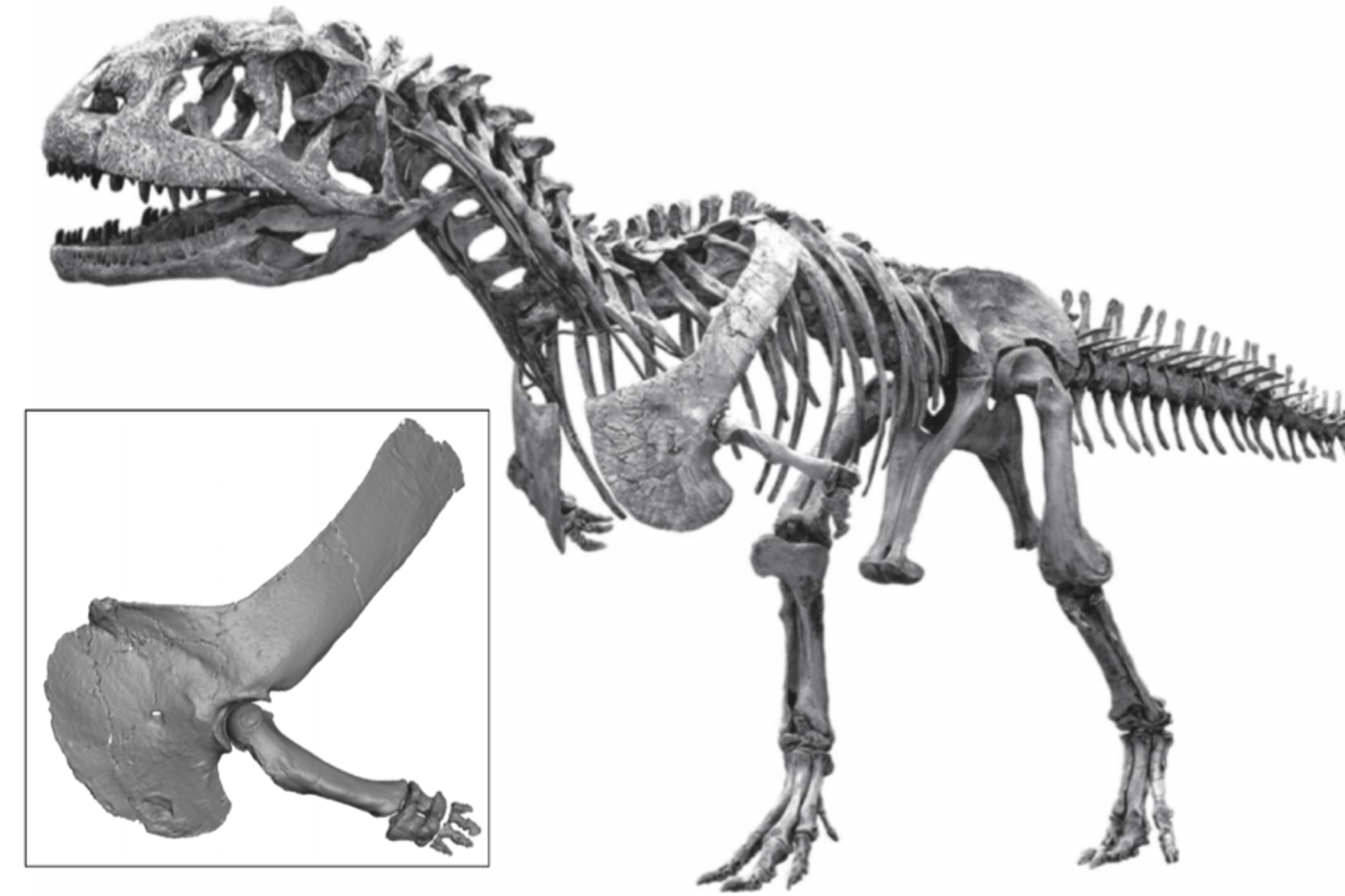 Black and white dinosaur skeleton, with an inset of its small arm and hand