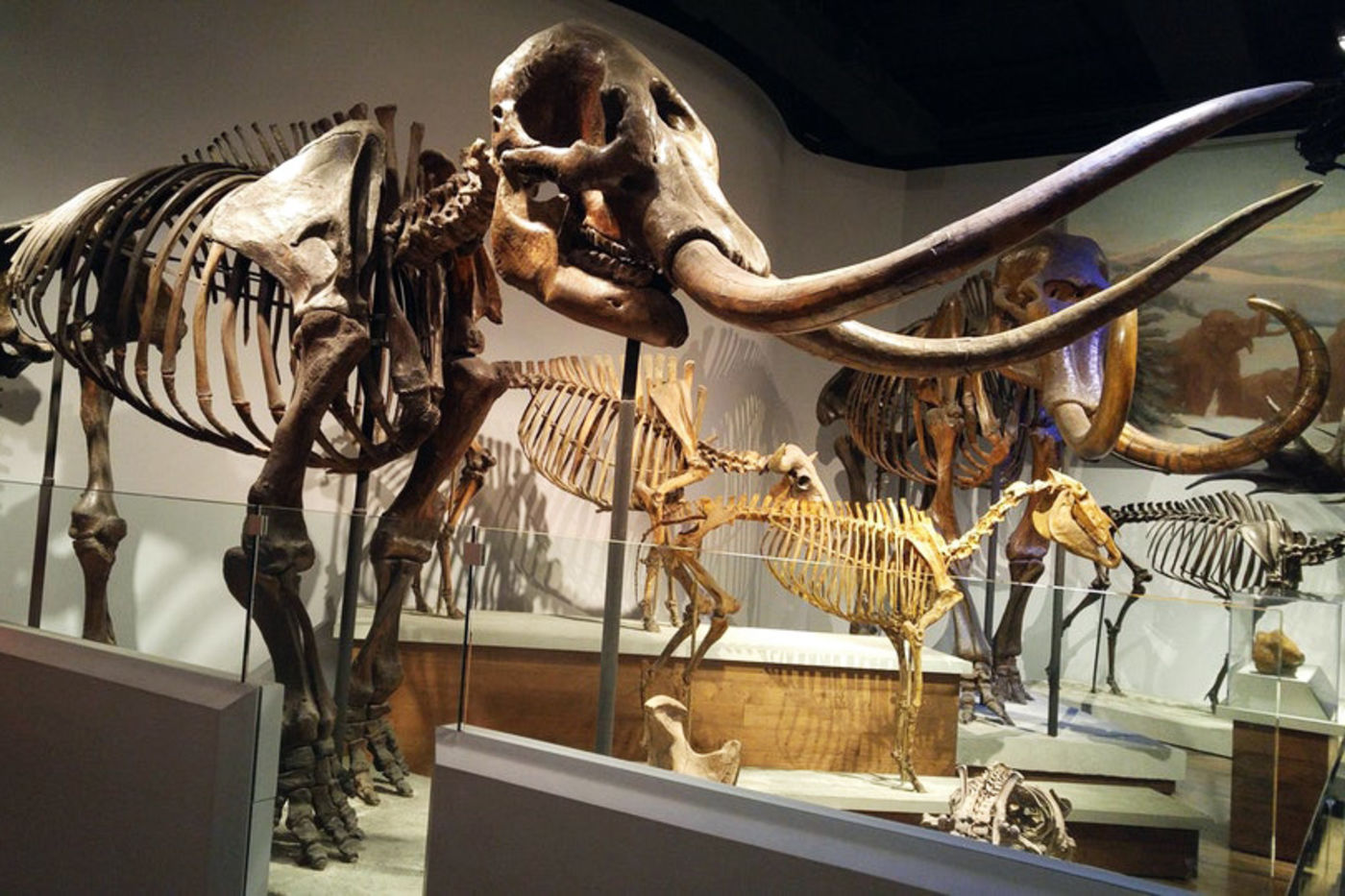 A mastodon skeleton on display in the exhibition Evolving Planet. Behind it are several other animal skeletons, including a woolly mammoth.