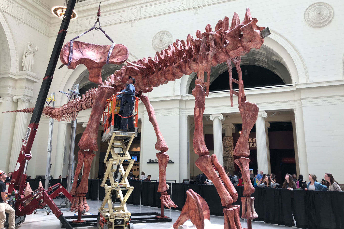 A hip bone is lowered by crane to a partially complete dinosaur skeleton. One man is operating the crane on the ground, and two or three other men are raised in a lift, waiting to move the hip bone into place. People watch from behind a black barrier surrounding the dinosaur skeleton.