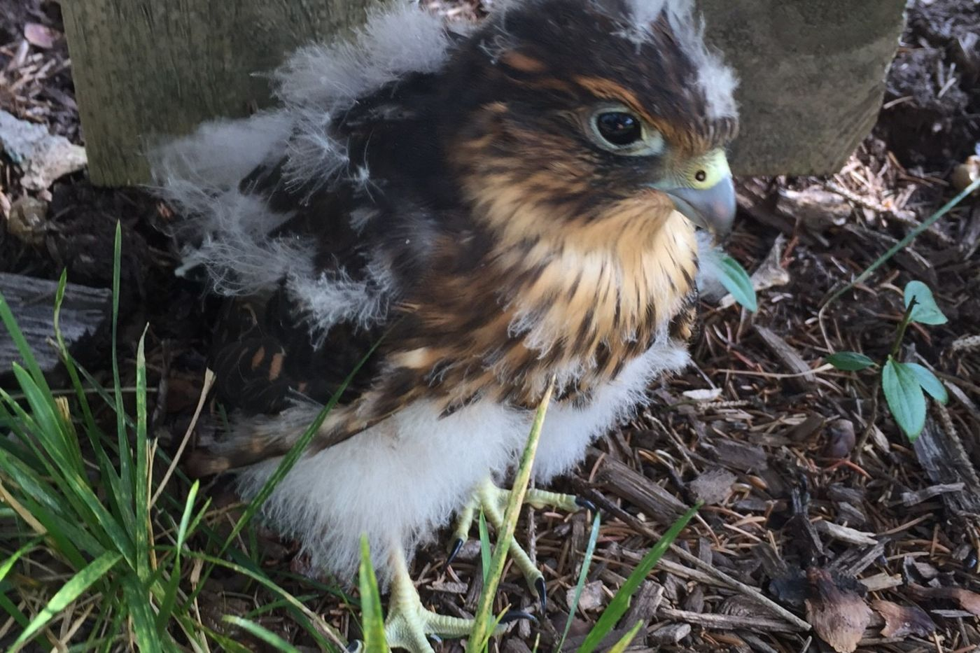 Merlin chick in Mt. Prospect, Illinois