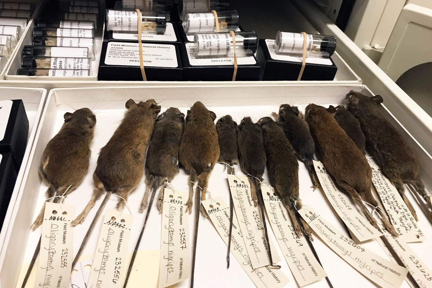 Several mouse specimens are lined up in a white box, with their tails and specimen tags pointing towards the viewer. Small glass vials are seen in a box behind them.