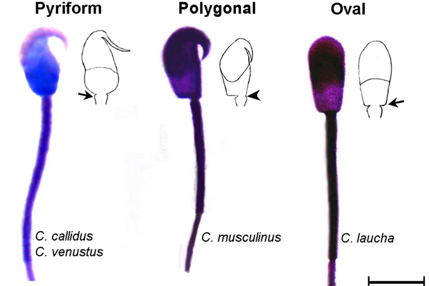A graphic shows three different rodent sperm shapes. Pyriform has a hooked top with a centered tail; polygonal has a hooked top with tail shifted to the right; and oval is smooth on the top with a centered tail. The species examined are C. callidus, C. venustus, C. musculinus, and C. laucha.