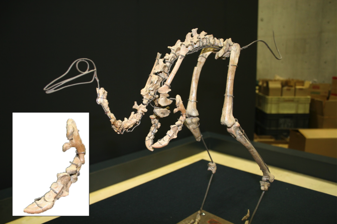 Skeleton of a small bird-like animal, with an inset of its small arm