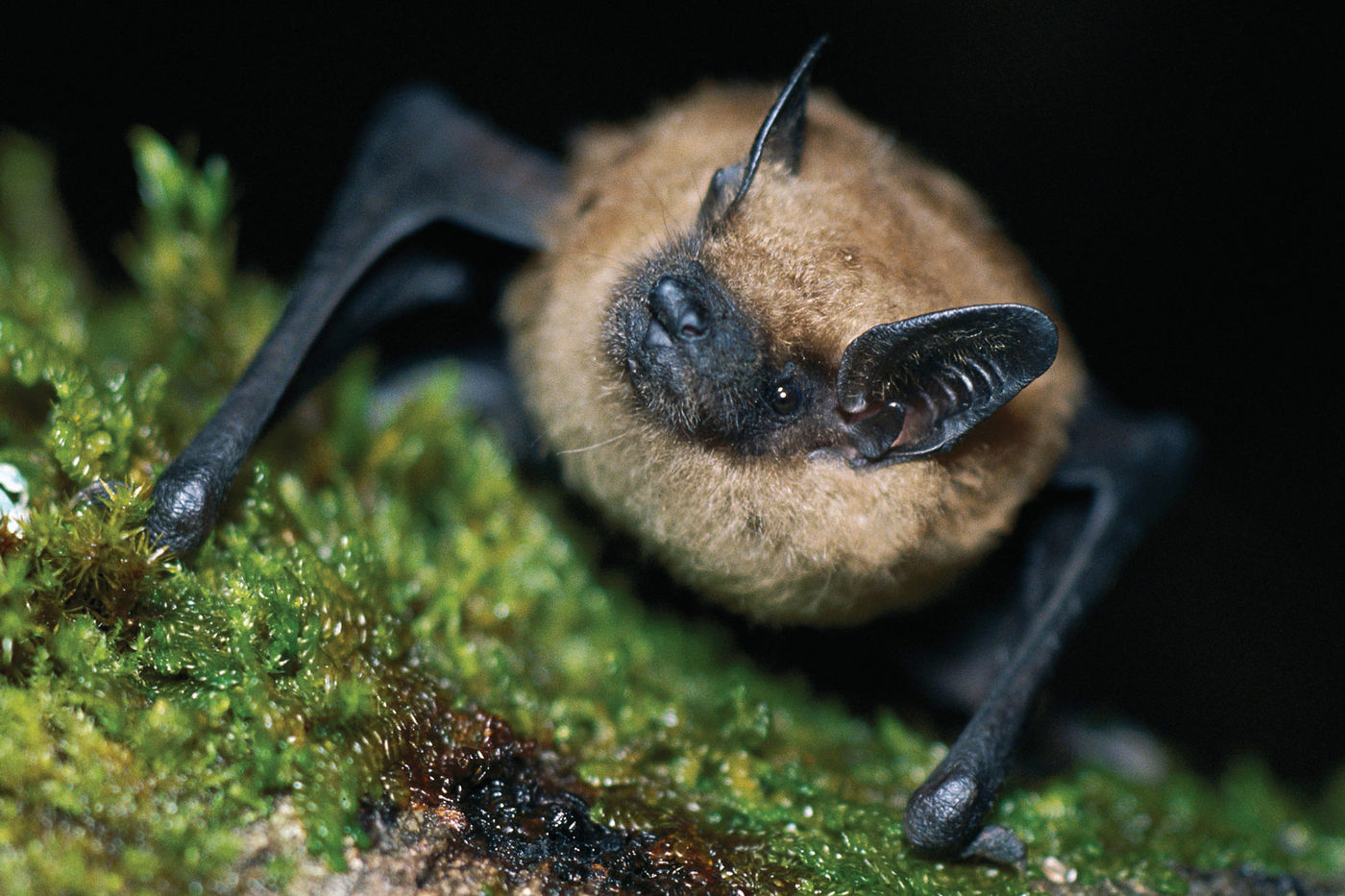 Close-up of a big brown bat perched on a mossy surface. Its fur is light brown and its face, ears, and wings are black.