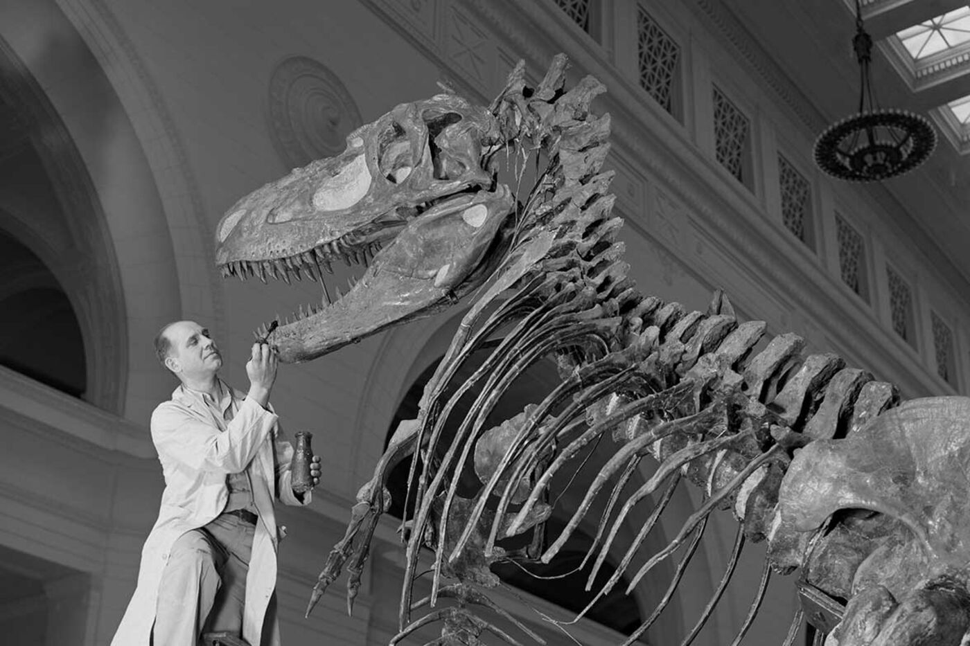 A man wearing a white lab coat uses a paintbrush to touch up the teeth of a Daspletosaurus dinosaur skeleton.