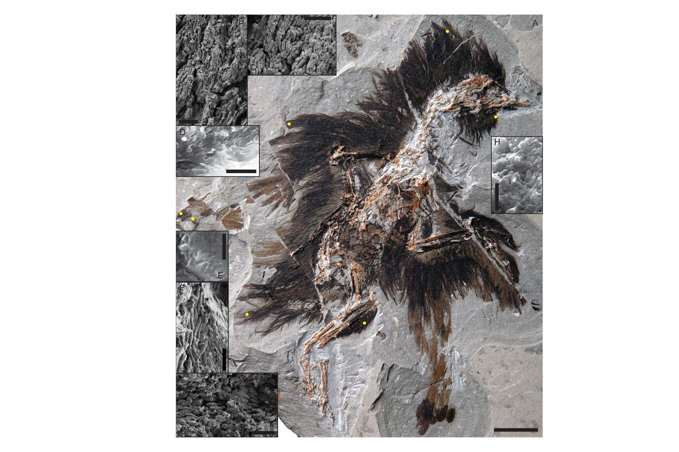 Image of a fossilized, feathered dinosaur.