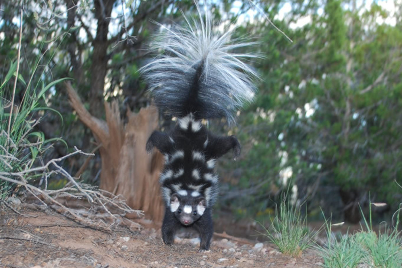 A skunk with white spots and fluffy tail standing on its two front paws