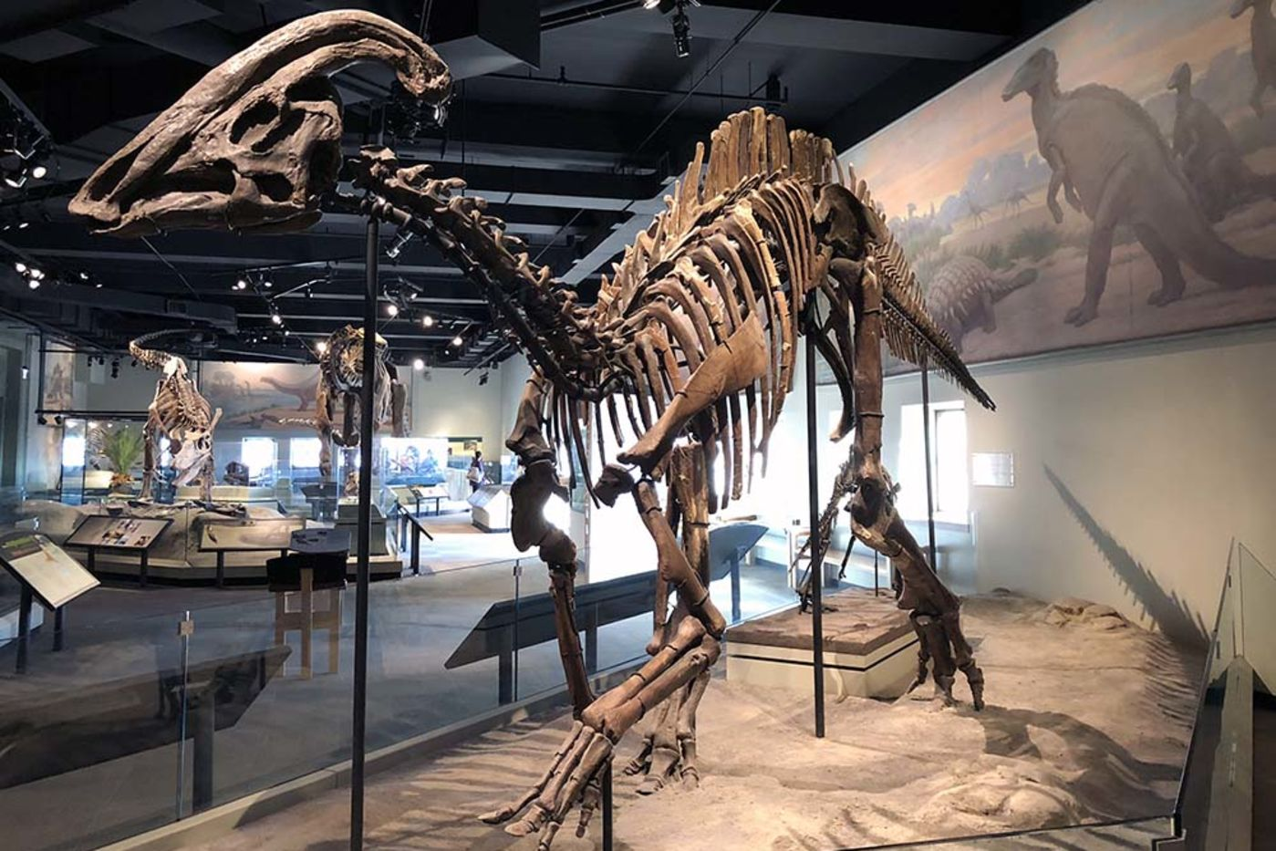 A dinosaur skeleton with a frill or fan on the top of its head, located in a museum display with other dinosaurs in the background.