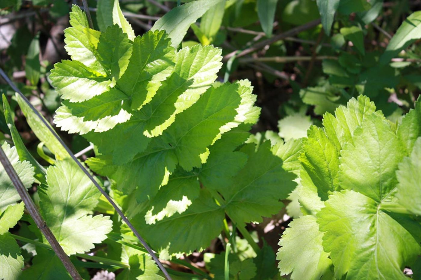 Green leaves with jagged edges