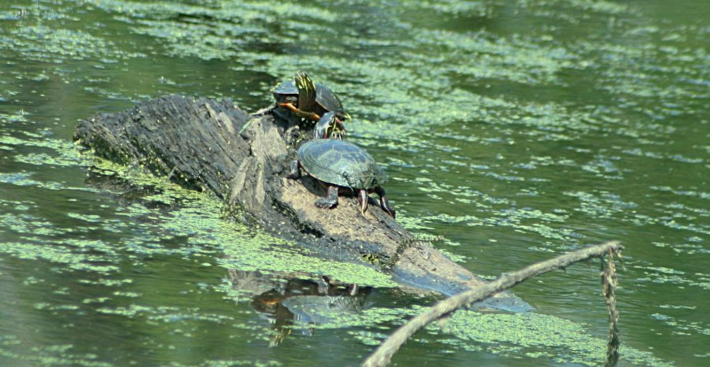 Two green turtles on a log in the middle of a pond or lake that has green algae on the surface