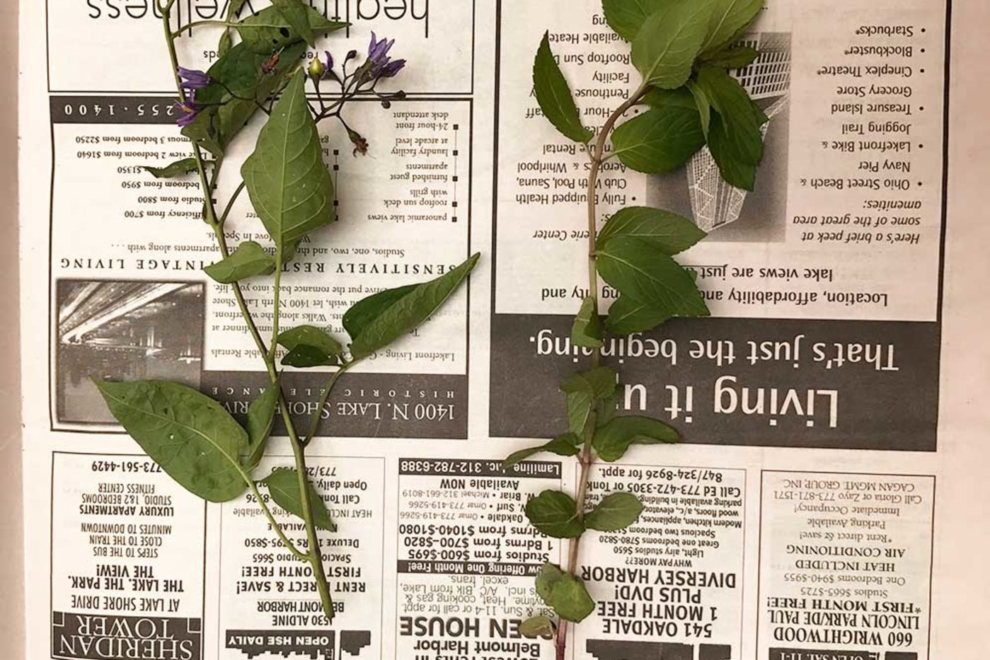Two plant pickings on newspaper