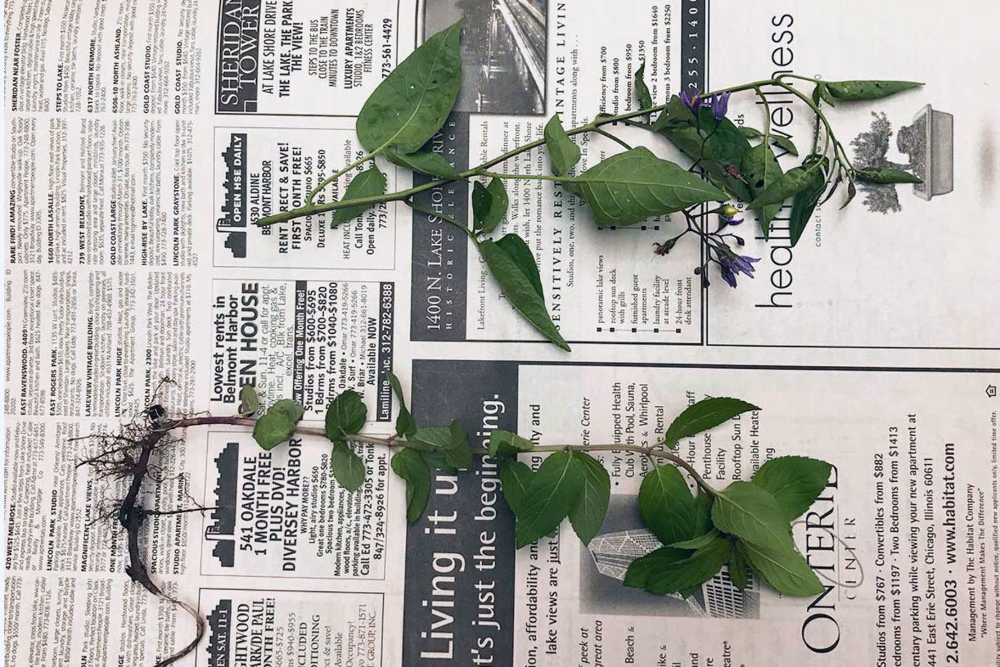 Two plant stems with leaves lying on a piece of newspaper.