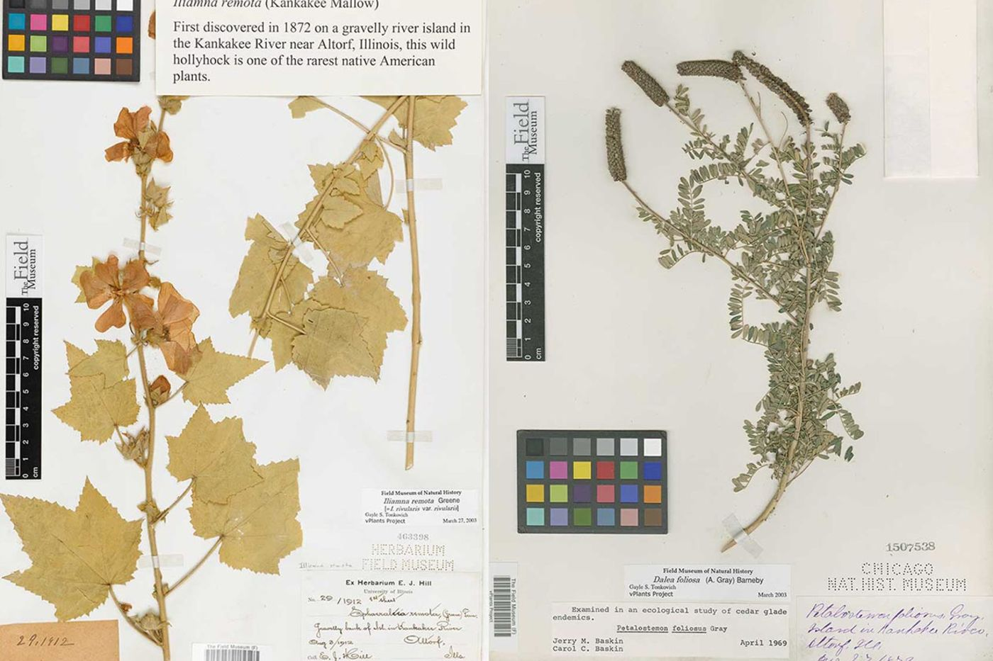 Two dried plant specimens, one yellow with large leaves and flowers, one green with many small leaves and seed pods