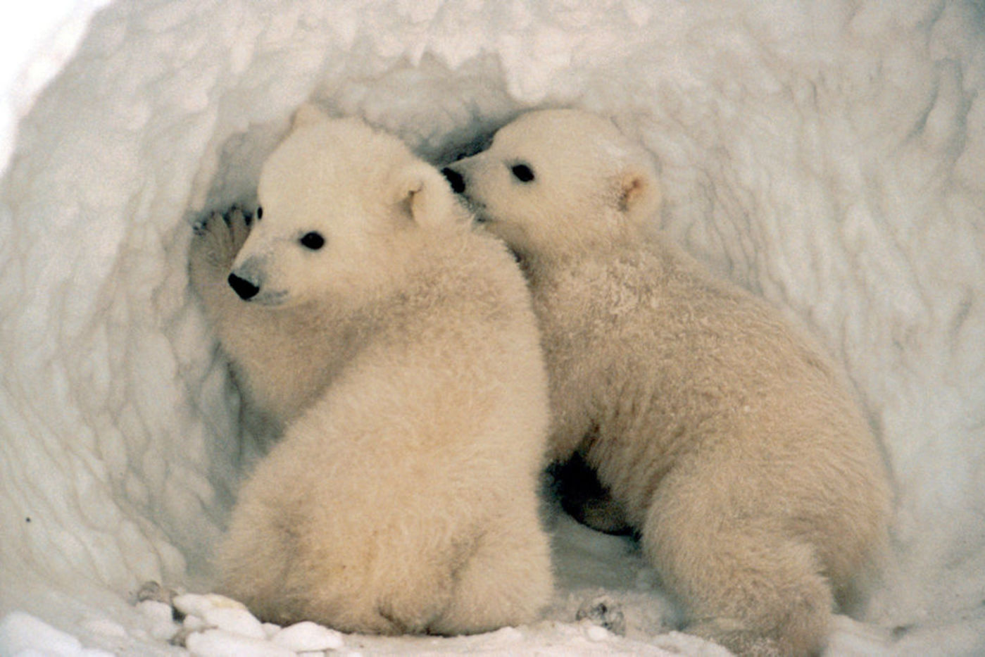 Two polar bear cubs in a snow den
