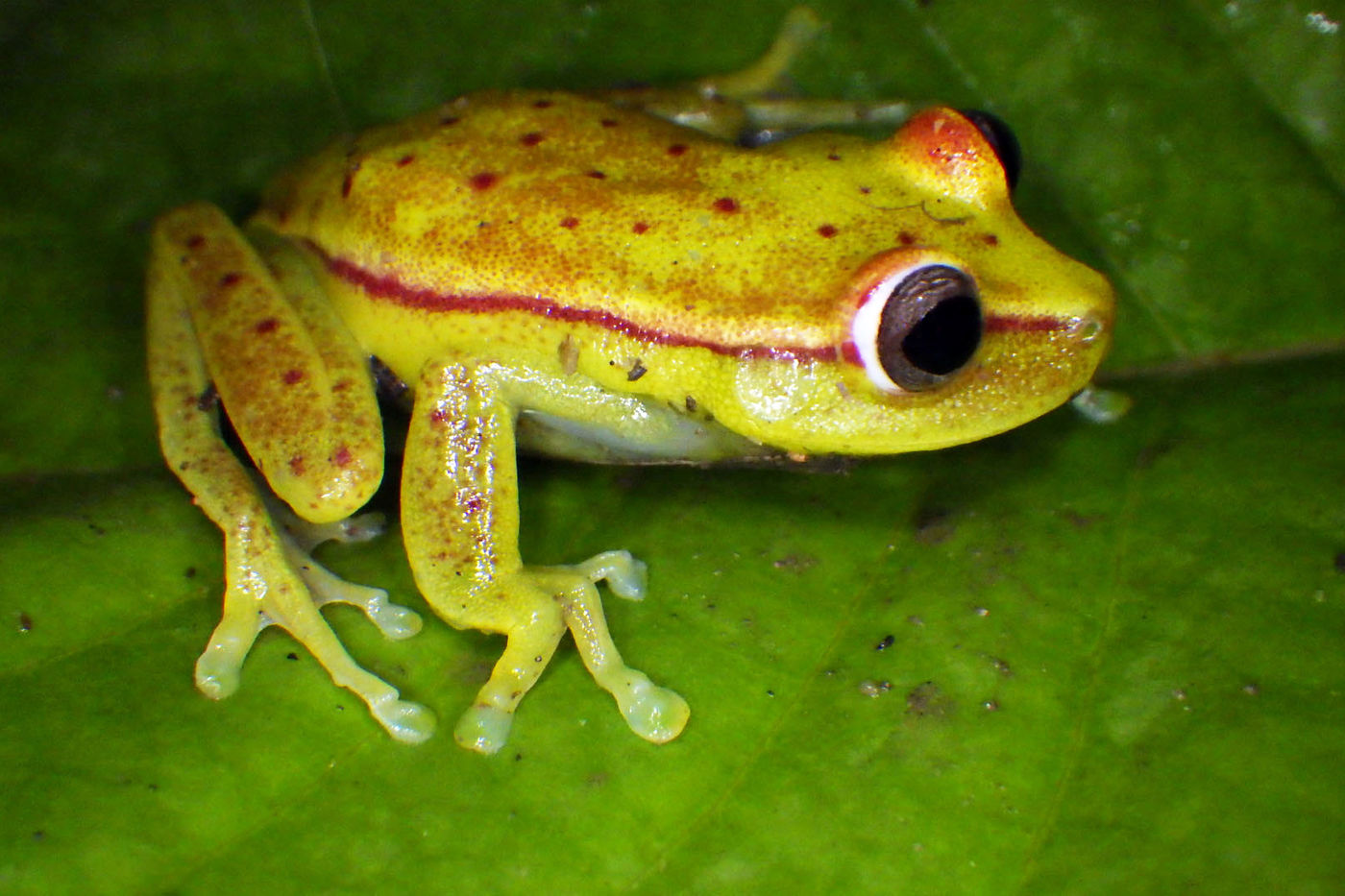 A bright green frog with red stripes down the sides and red polka dots all over, sitting atop a darker green leaf.