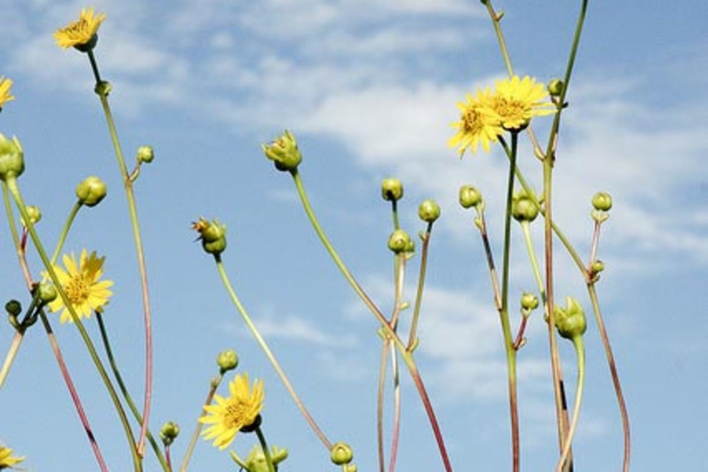 Tall yellow flowers in front of blue sky with clouds