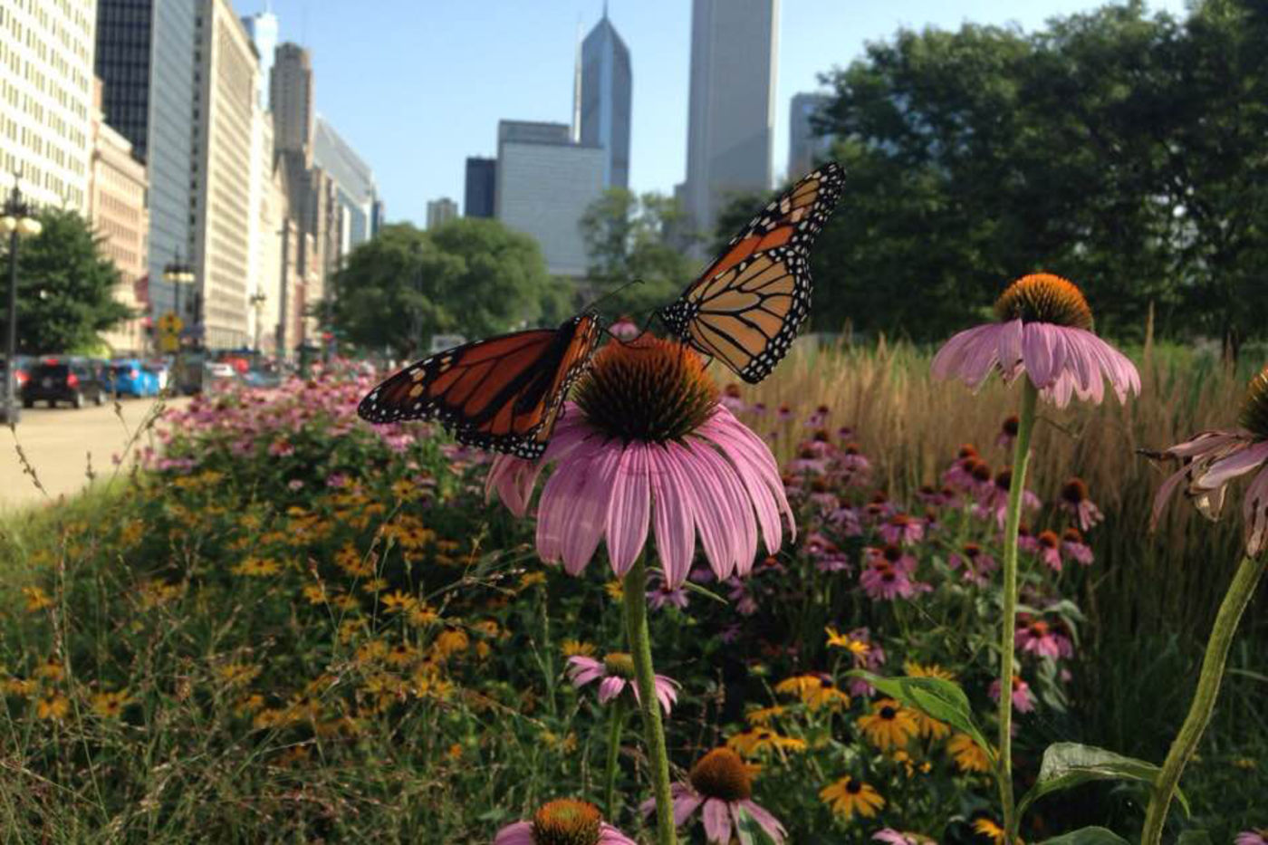Two monarch butterflies are perched atop a flower in downtown Chicago.