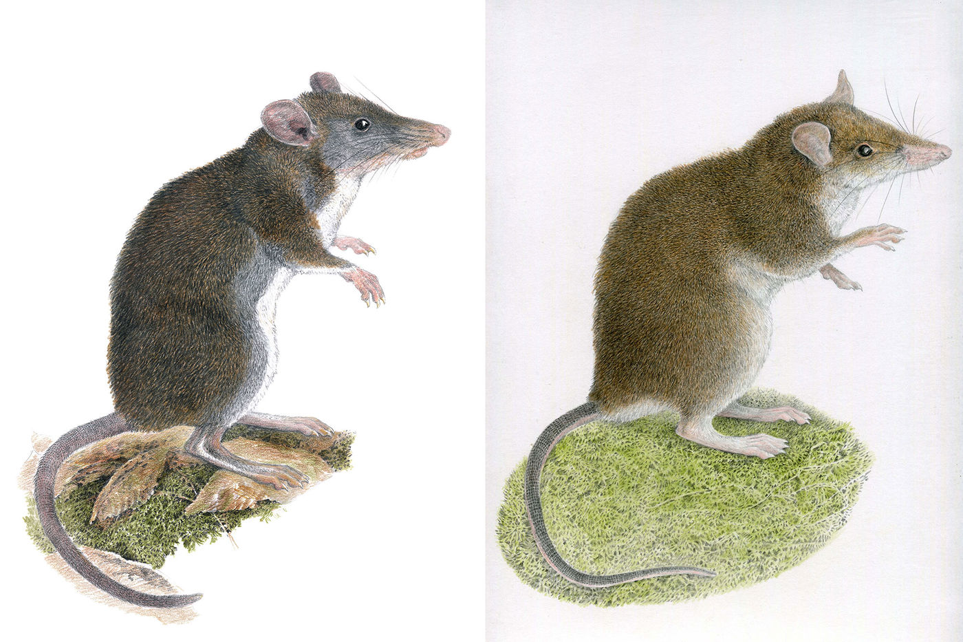 Side-by-side illustrations of two rats, in similar positions perched on their hind legs. The rat on the left has darker gray fur, and the one on the right is more light brown in color. They both have long, narrow snouts.