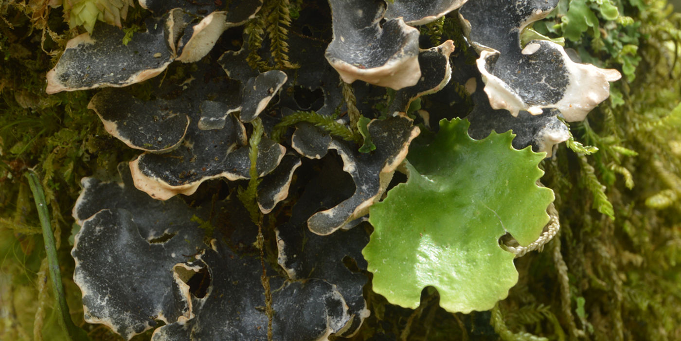 Lichen forming different lobes with green algae and cyanobacteria