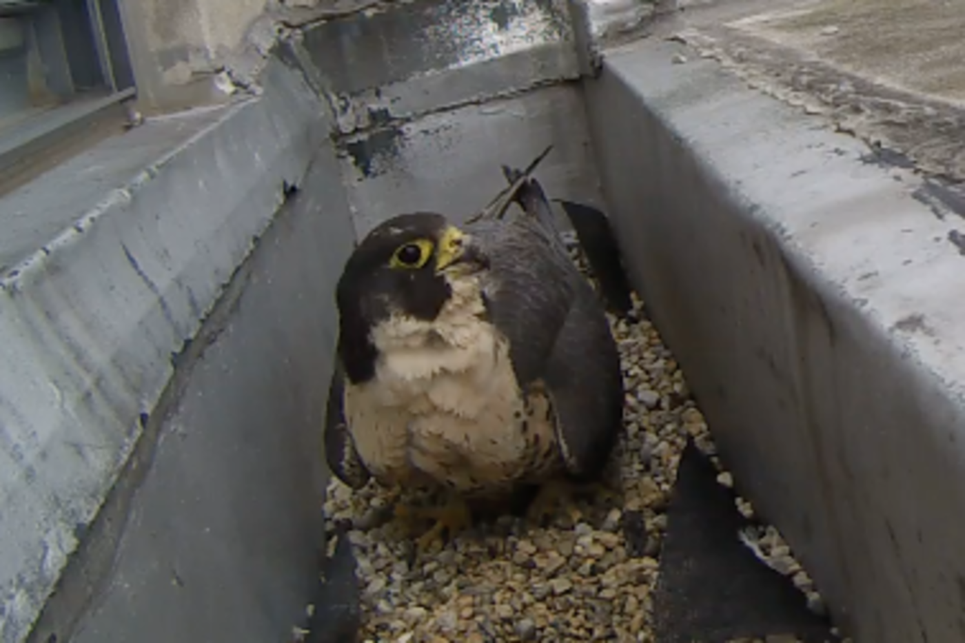 A single Peregrine Falcon, sitting near the Rockford peregrine webcam.