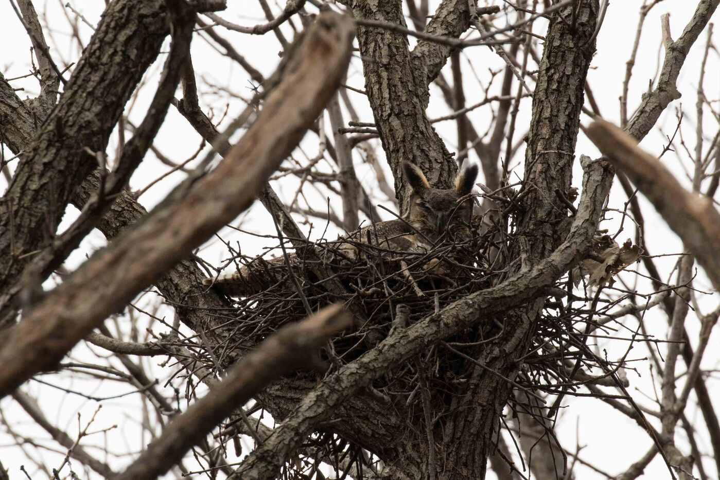 A great horned owl sits in a nest.