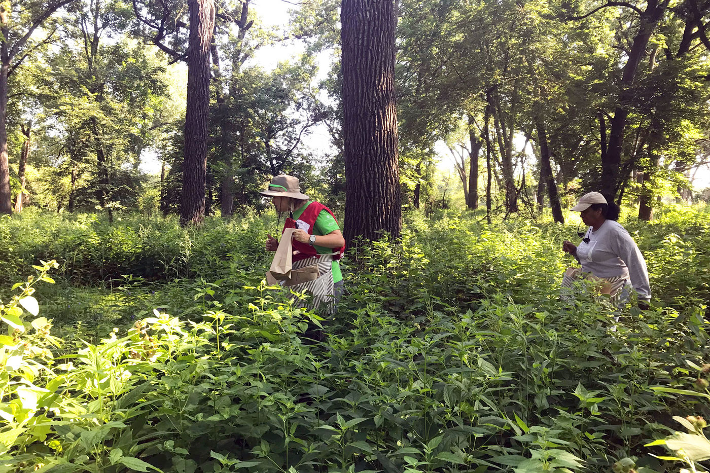 Two women wearing hats walk through a forest where plants are waist-high. Some larger trees are behind them, and the area is mostly shady.