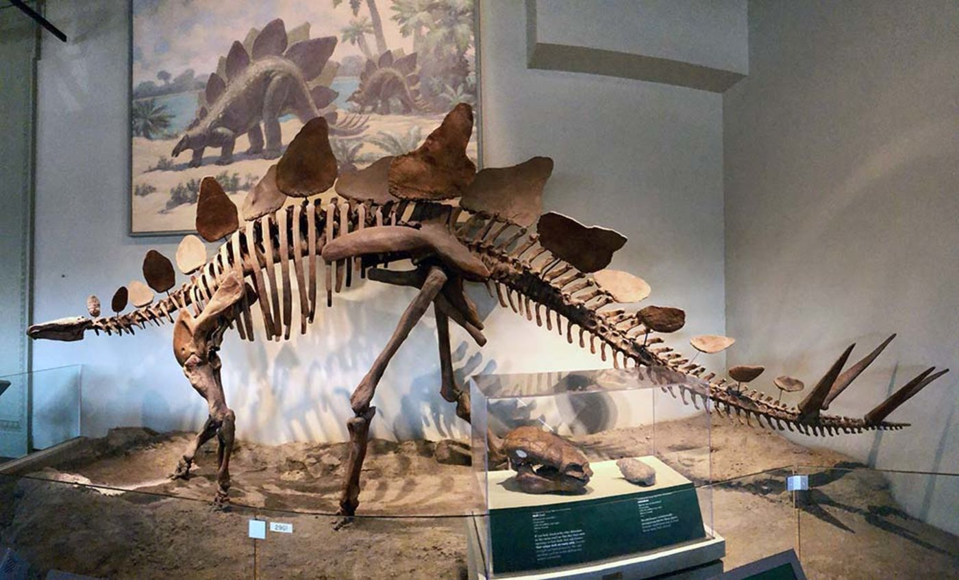 A skeleton of the dinosaur Stegosaurus on display in a museum, in front of a painting of Stegosaurus