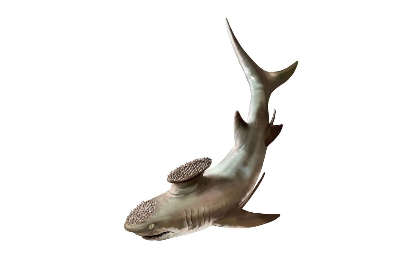 Illustration of a gray shark with bristles on its head and on a stump protruding from its back.
