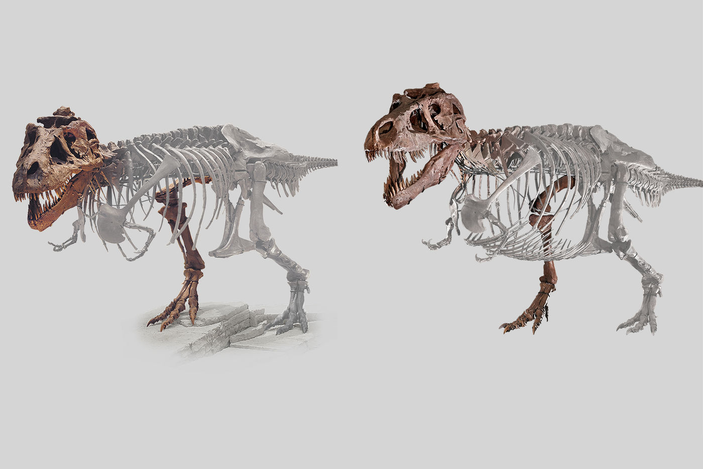 Side-by-side graphic of SUE the T. rex, showing before and after changes. The areas that have been moved or changed are highlighted in gray.