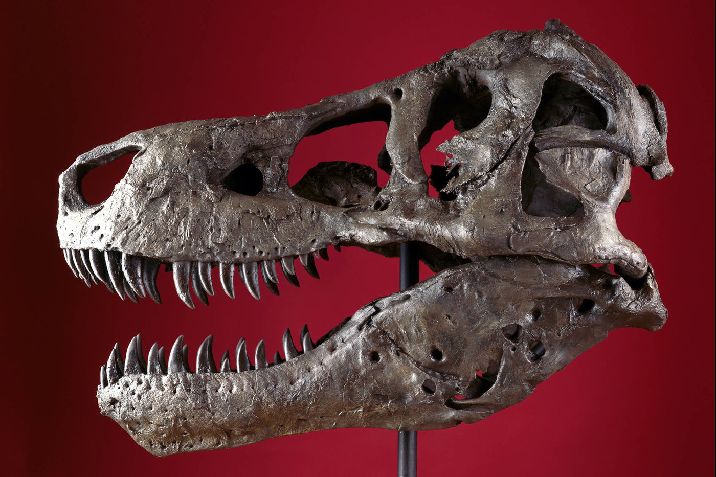 Side view of a Tyrannosaurus rex skull mounted on a pole, in front of a dark red background. The skull is brown in color and a little bit shiny, and its mouth is slightly open showing rows of sharp, curved teeth.