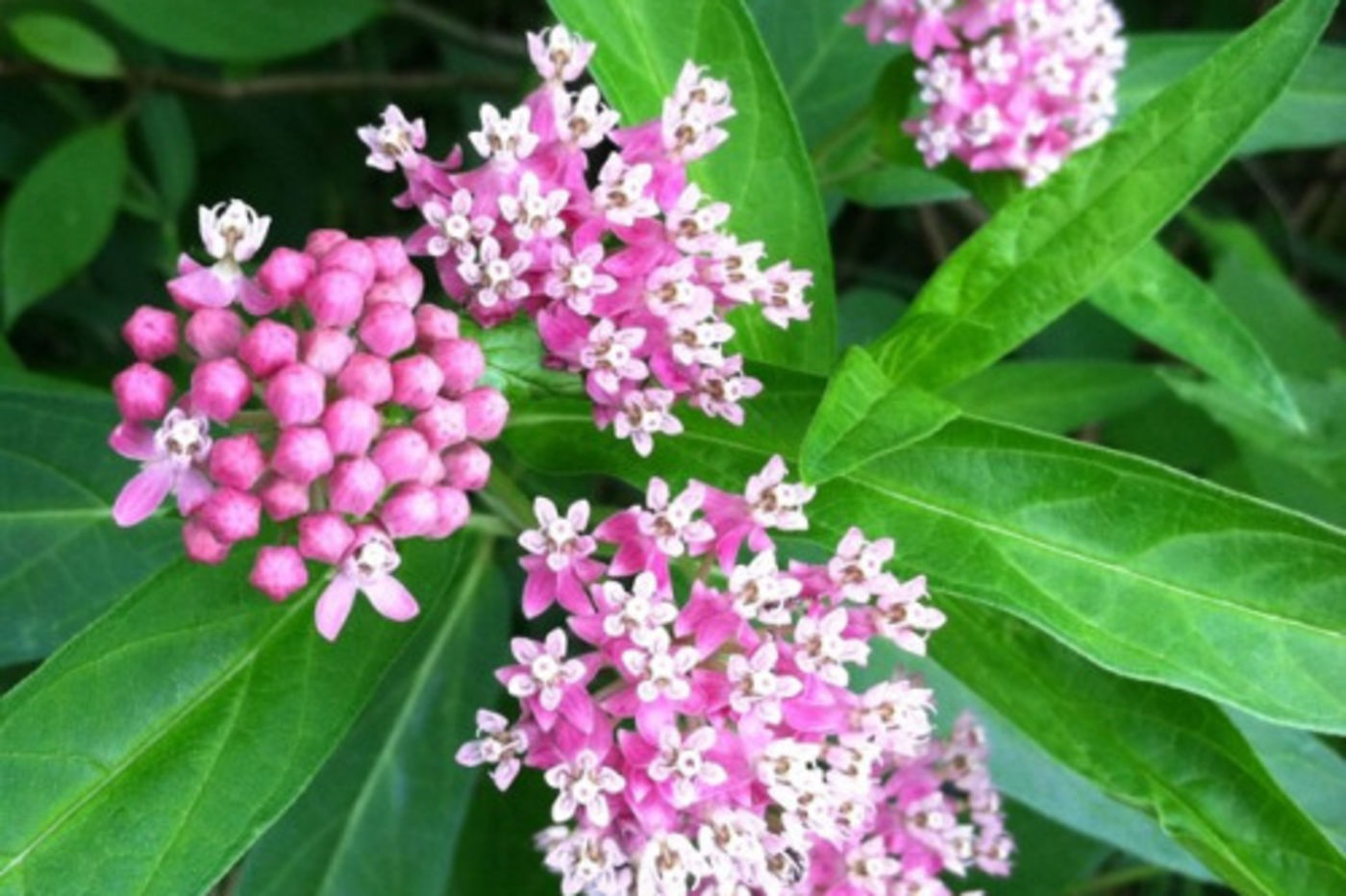 Looking Down On A Plant With Large Green Leaves And Bunches Of Small Pink White