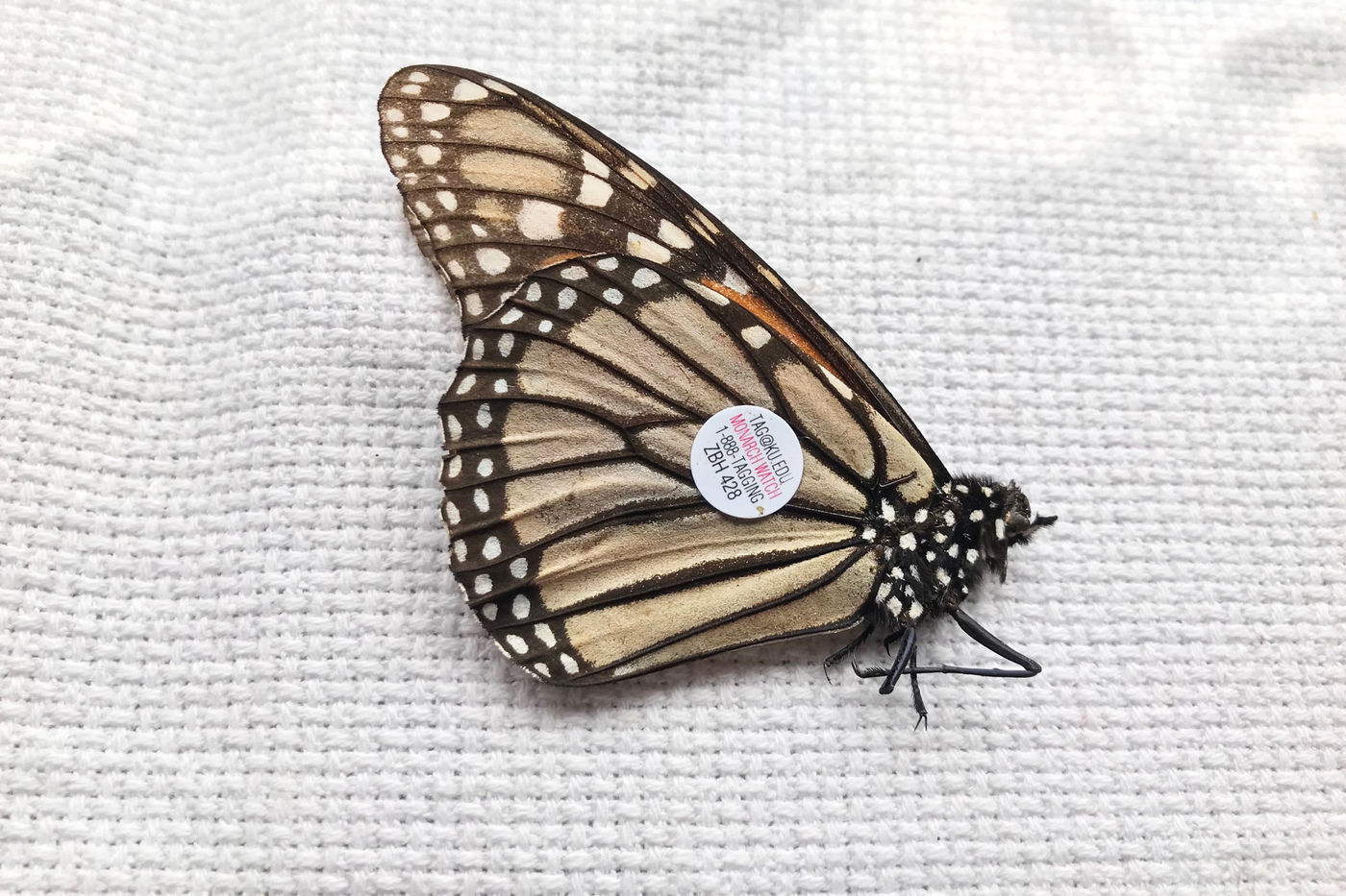 A monarch butterfly with a small round sticker on the underside of its wing, lying on a white cloth. The sticker has small black and red text.