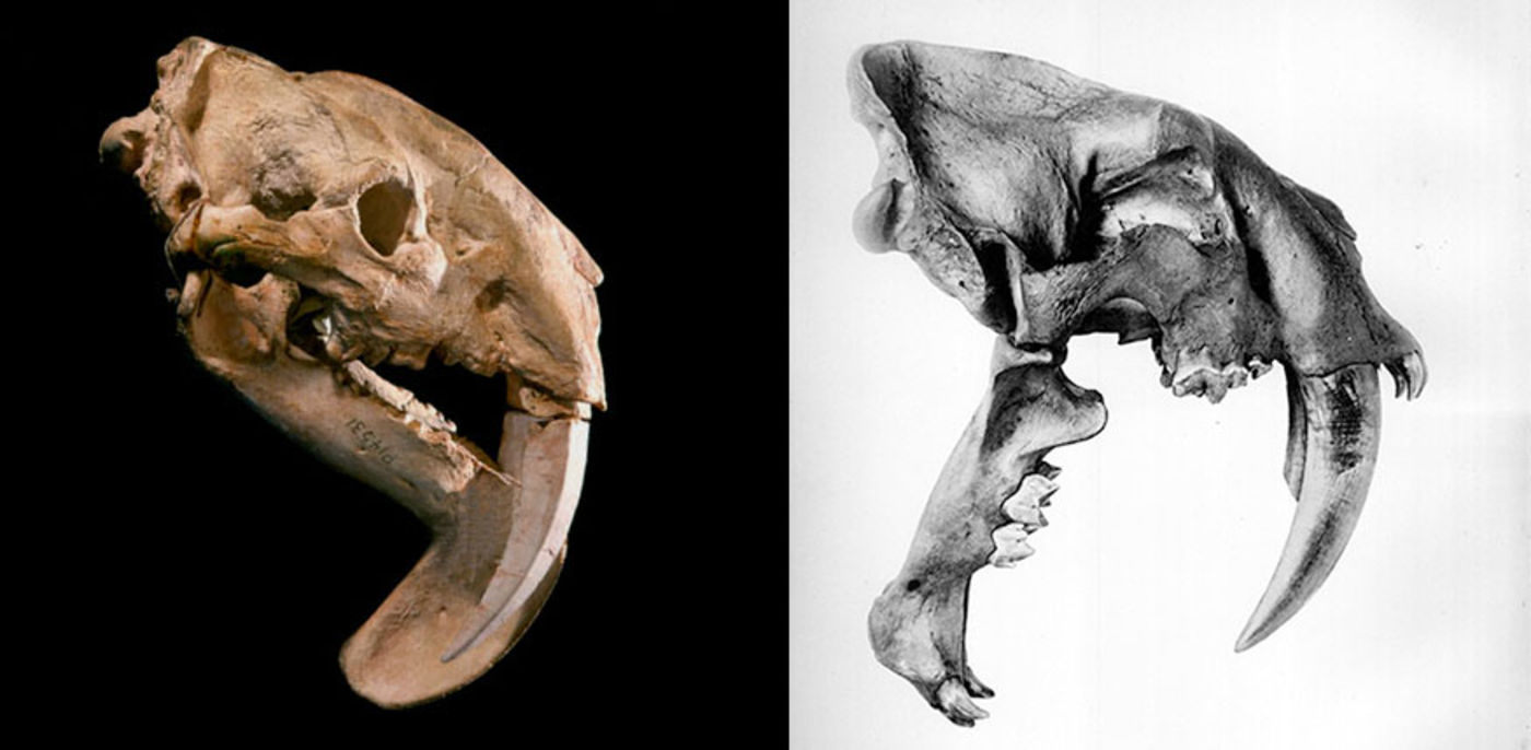 Two skulls of animals with long saber teeth