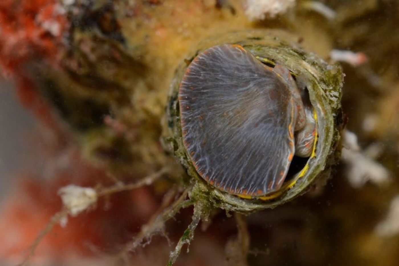 A red, orange, and brown coral-like tube with a soft, gray, clam-like flap at the top