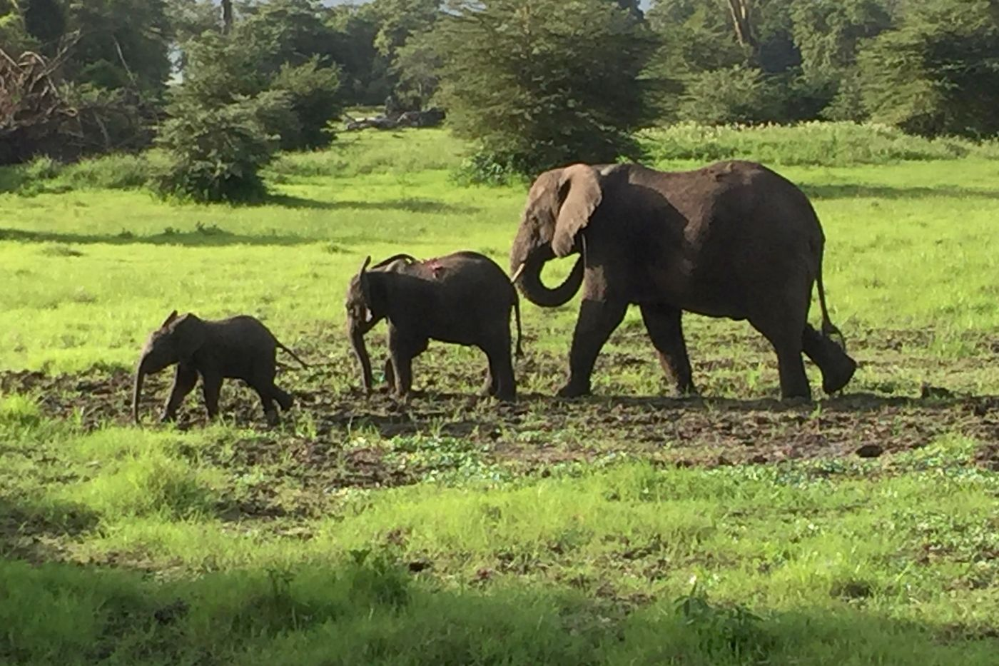 Three elephants walk across a grassy plain. Trees and shrubs are visible in the background.