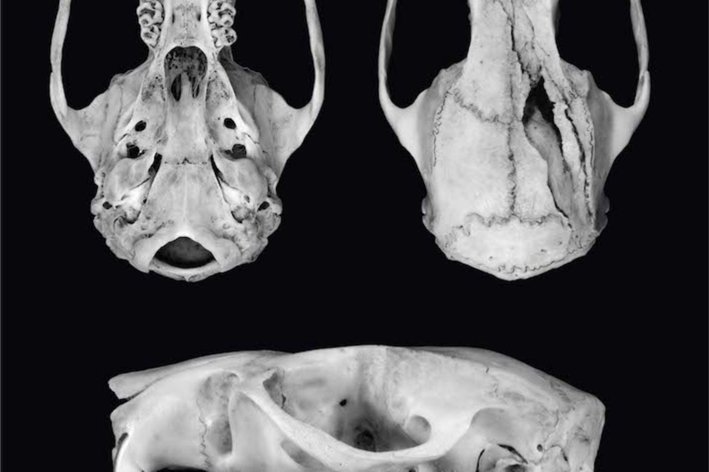 Black and white photography of an animal skull, from three angles