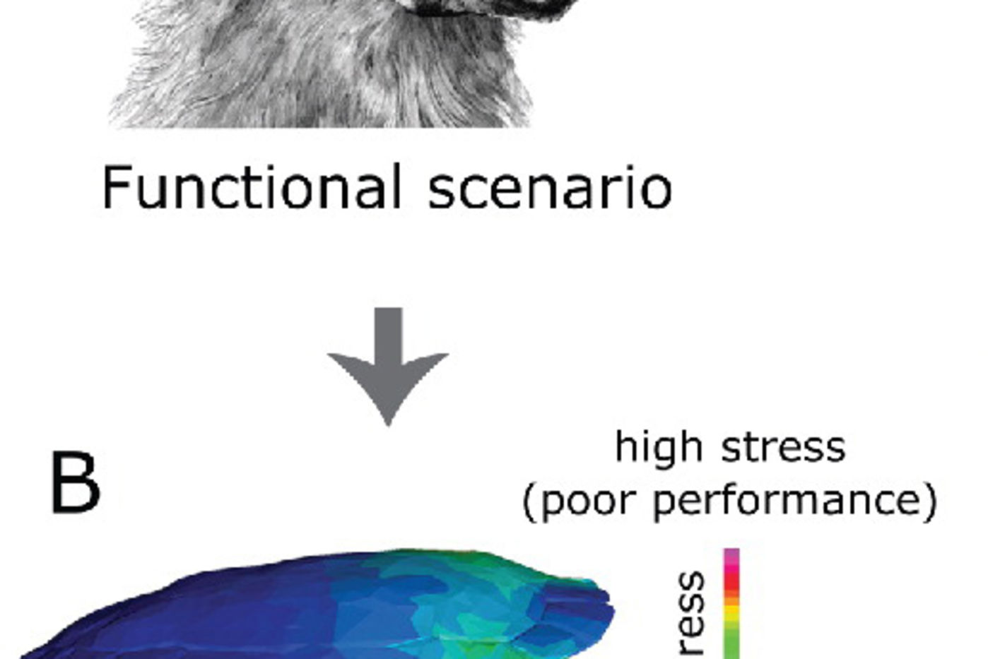 Illustration of a wolf biting down on a turtle shell, and a heat map showing how much stress different areas of the shell would receive from the bite