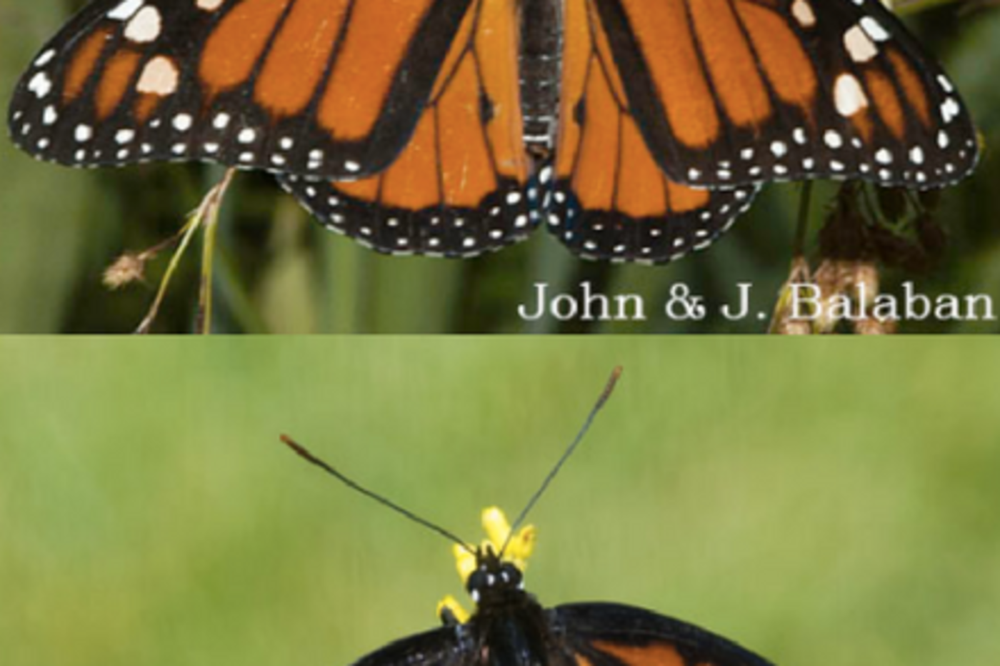 Two butterflies that are orange with black stripes, in green foliage