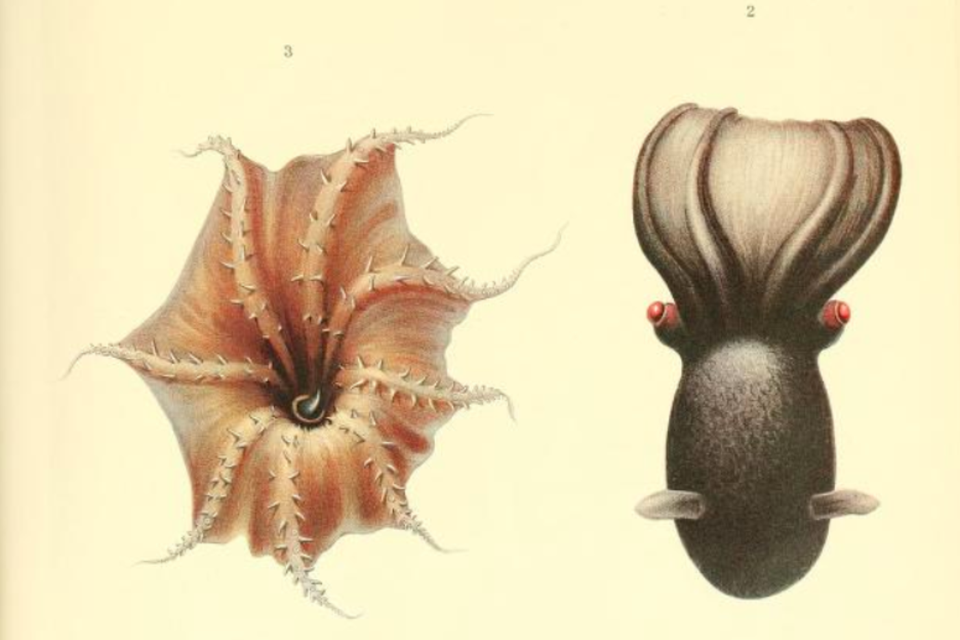 Illustration of the pinkish arms and web of a vampire squid, next to the black exterior. The vampire squid is shown with red eyes and two fins off the side of its head.